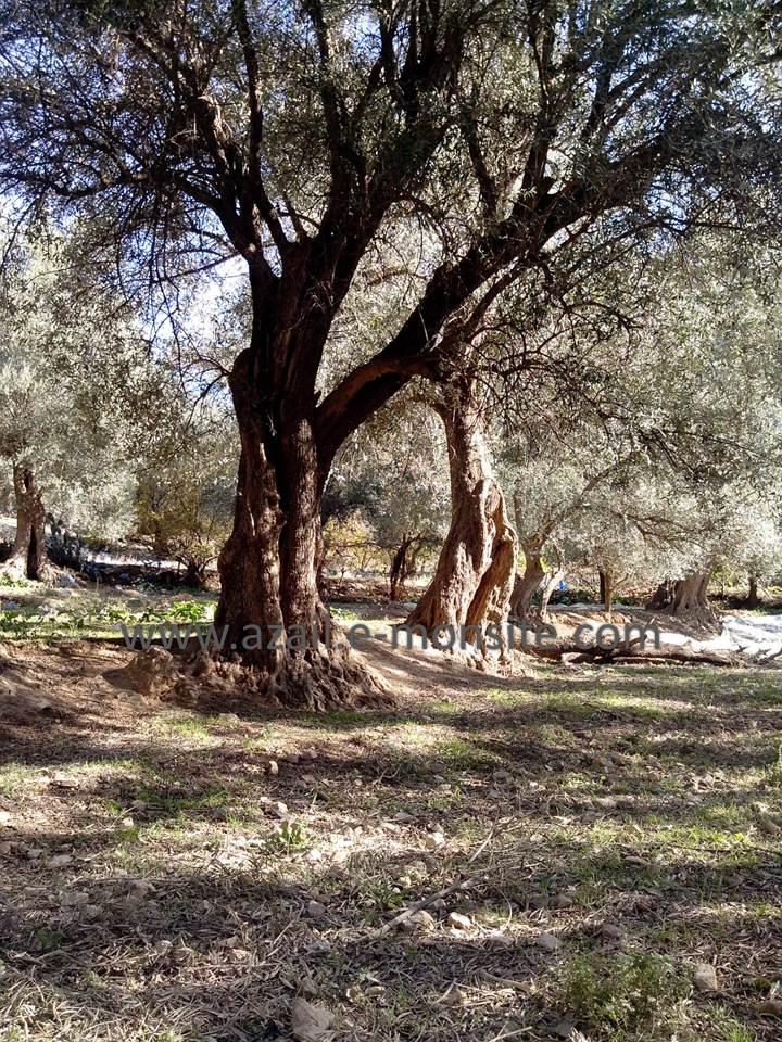 Olive 19