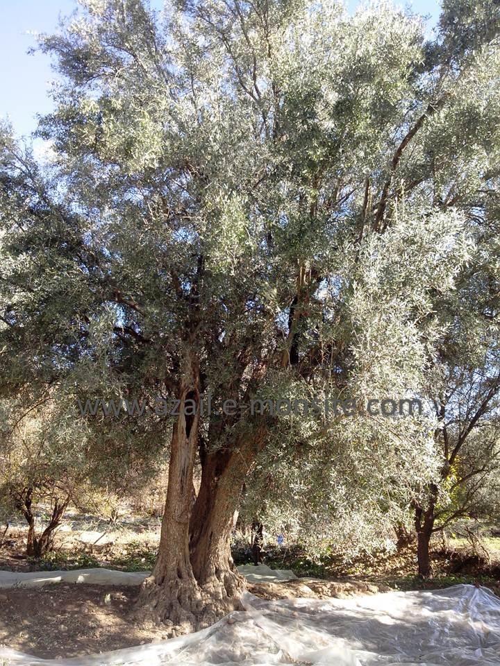 Olive 2